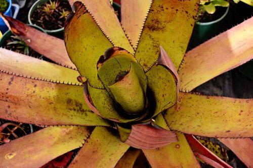 Rainbow bromeliads WA